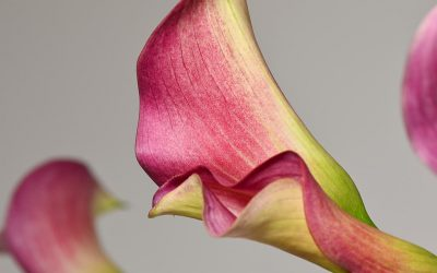 Calla Lily Blooms from the Garden