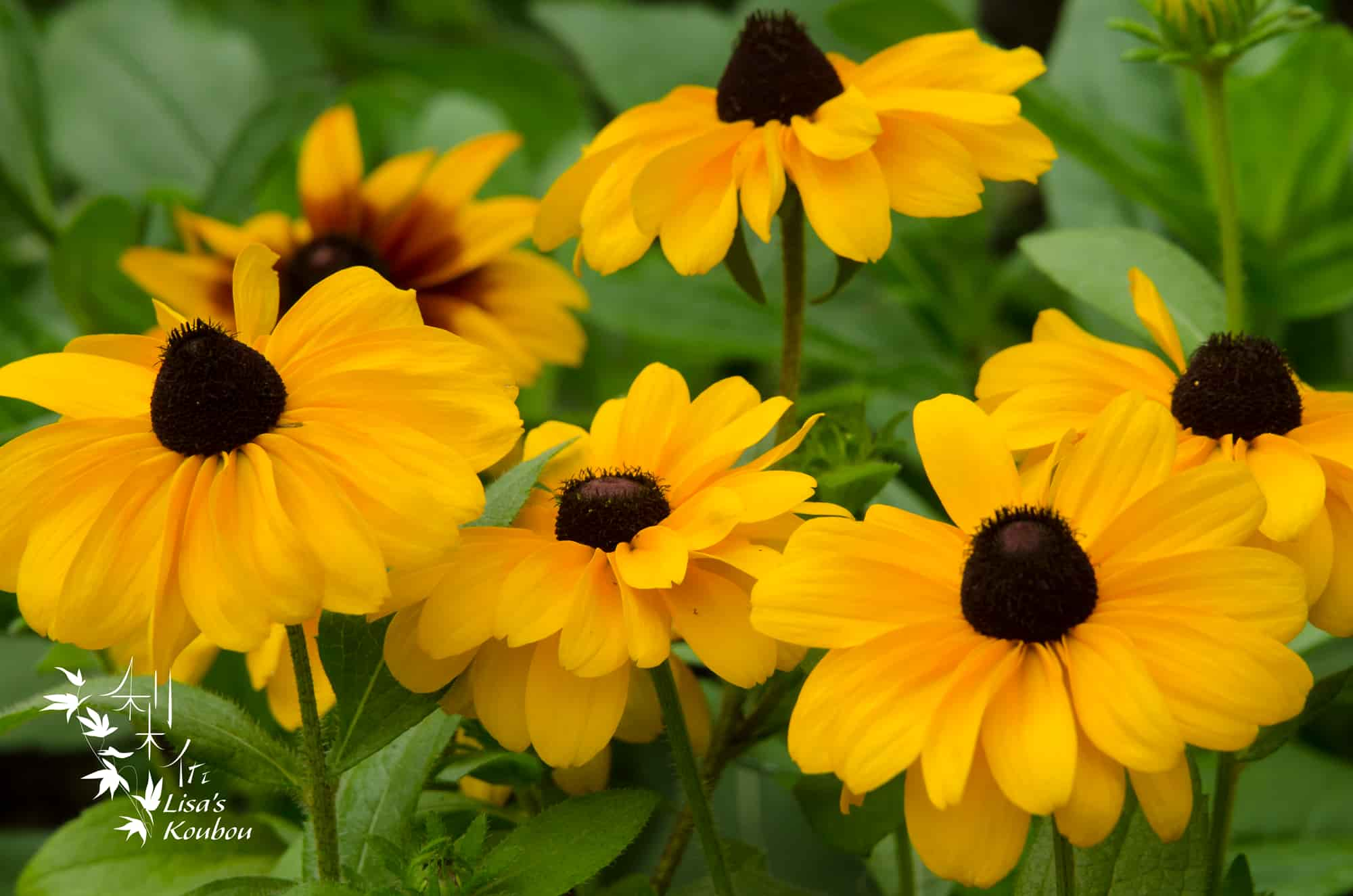 Black Eyed Susan like flowers