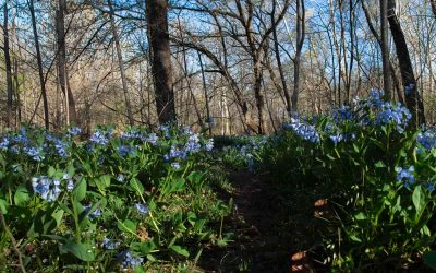 The Ancient BlueBell